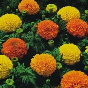 Moonorchid Flowers on Marigold Flowers   Top Flowers Wallpaper