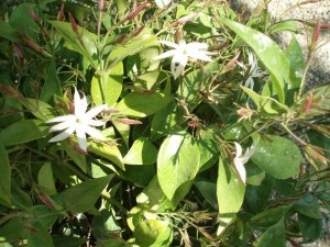 Star Jasmine (Jasminum nitidum, Jasminum magnificum, Jasminum illicifolium  - Product Image