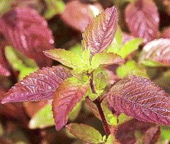 Krishna or Shyam Tulsi Plant - AVAILABLE NOW! - Product Image