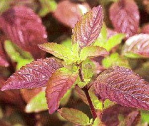 Krishna or Shyam Tulsi Plant - OUT OF STOCK TILL APRIL 2017! - Product Image
