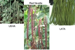 Yard Long Bean Collection - Product Image