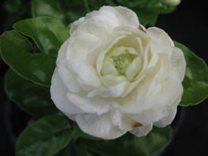 "Jasminum sambac ""Grand Duke of Tuscany"" - Available for Pre-order.  - Product Image"