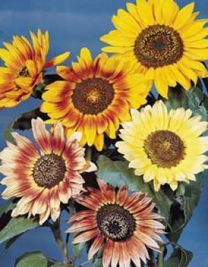 Sunflower-Autumn Beauty