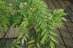 Curry Leaf Plant (Murraya Koenigii) TEMPORARILY SOLD OUT!! - Product Image