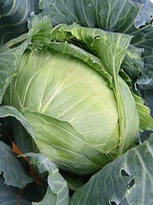 Cabbage Brunswick - Product Image