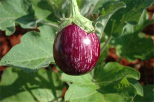 Eggplant-Rhim Jhim - Product Image