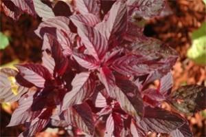 Amaranthus-Lalit - Product Image