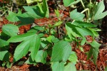 Roselle-Red-stemmed Gongoora (gongura) - Product Image