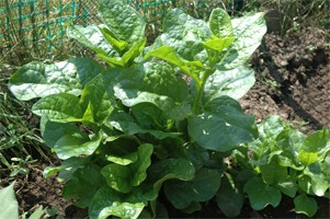 Malabar Spinach-Dharma - Product Image