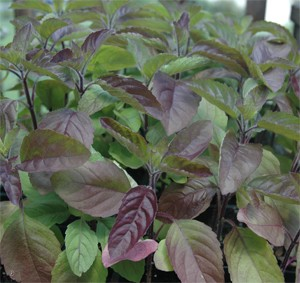Krishna or Shyam Tulsi (Red Holy Basil) seeds (Ocimum sanctum or tenuiflorum) - Product Image