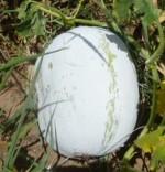 Ash Gourd - Yash - Product Image