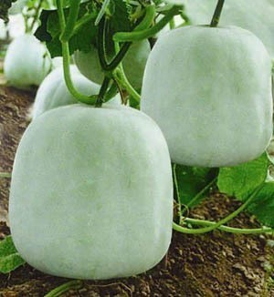 Ash Gourd - Ganges NEW FOR 2016! - Product Image