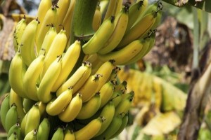 Banana Plant - var. Gros Michel - Product Image