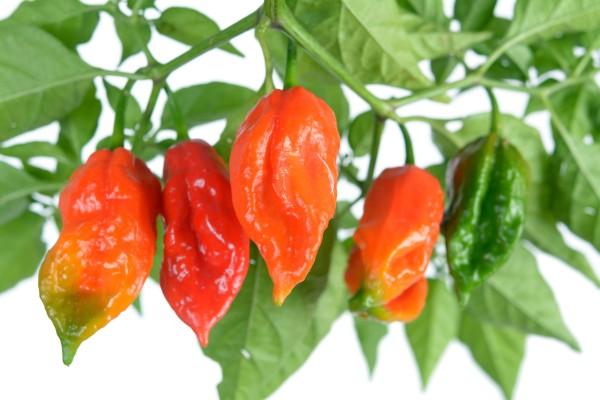Bhut Jalokia - Worlds Hottest Pepper - Product Image