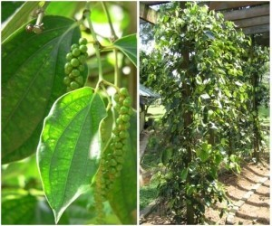Black Pepper plant - Piper nigrum- OUT OF STOCK TILL SPRING 2014! - Product Image