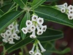 Day blooming Jasmine (Cestrum diurnum) OUT OF STOCK !. - Product Image