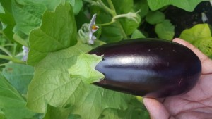 Eggplant Swapna- NEW FOR 2018 - Product Image