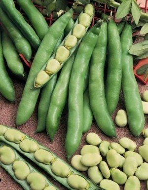 Fava Bean - Broad Windsor - Product Image