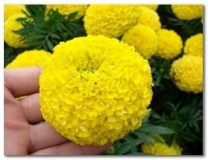 Hybrid Marigold Maya - Product Image