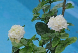 "Jasminum sambac ""Grand Duke of Tuscany"" -AVAILABLE FOR PRE-ORDER - Product Image"