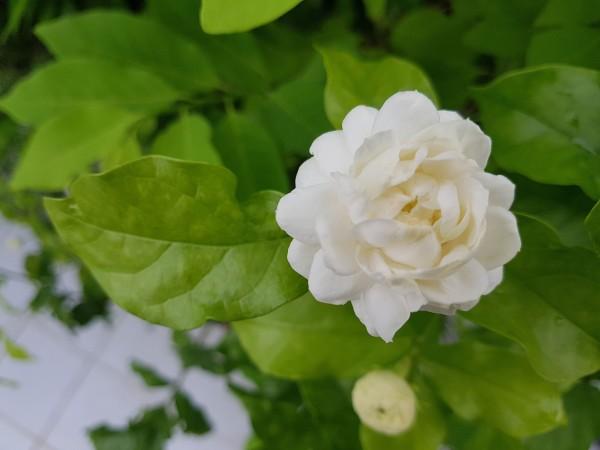"""Jasminum sambac """"Grand Duke of Tuscany"""" - Product Image"""