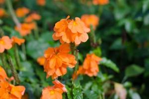 Kanakambaram (Aboli) plants - BUY 1 GET 1 FREE! - Product Image