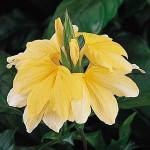 Kanakambaram (Aboli) plants (Crossandra infundibuliformis) - Product Image
