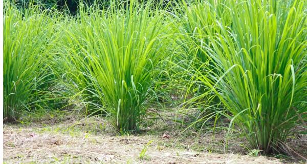 Lemon Grass-Saira - Product Image