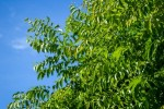 Neem tree seeds Available in JULY/AUGUST 2018 - Product Image