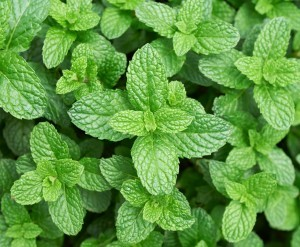 Peppermint Plant - Product Image