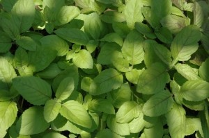 Ram Tulsi Plant-Green Holy Basil - SOLD OUT TILL SPRING 2018! - Product Image