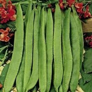 Sem Bean-Scarlet Runner  - Product Image