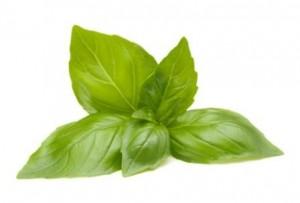 Sweet Basil (Ocimum basilicum)