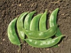 Val Papdi Bean-Priya - Product Image