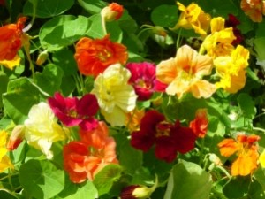 Nasturtium-Dwarf Jewel Mix Brilliant - Product Image