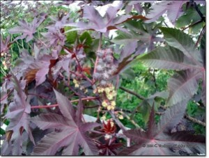 Castor Bean-Anand-TEMPORARILY OUT OF STOCK! - Product Image