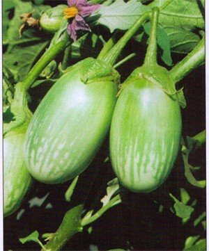 Eggplant Bijli - OUT OF STOCK! - Product Image