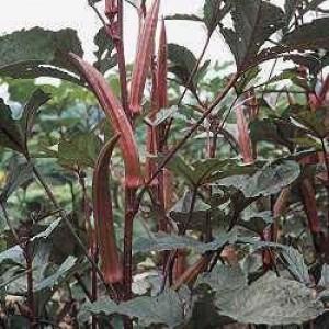 Okra-Burgundy - Product Image