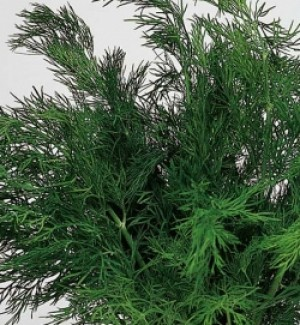 Dill (Anethum graveolens) - Product Image
