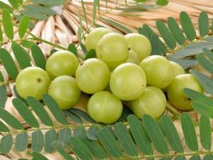 Amla Plant - Product Image