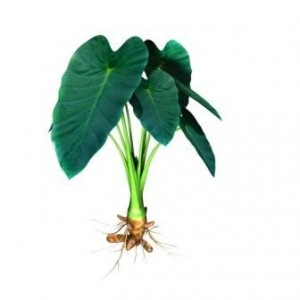 Arbi plants- Colocasia esculenta-OUT OF STOCK TILL SPRING 2019! - Product Image