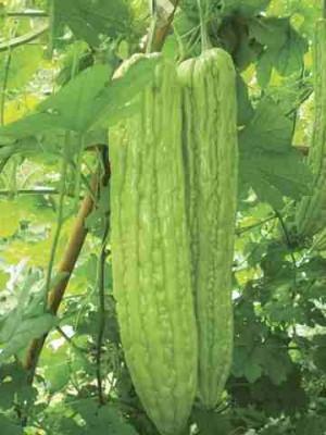 Bitter Gourd - Sayonara - Product Image