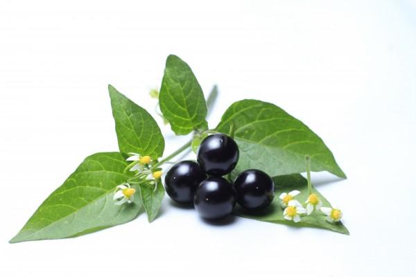 Black Nightshade Manathakkali New For 2019 Seeds Of