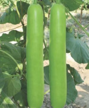 Bottle Gourd- Dhol - Product Image