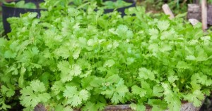 Coriander-Leisure - Product Image