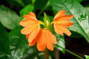 Crossandra - Tropic flame (Kanakambaram) Seed packet OUT OF STOCK! - Product Image