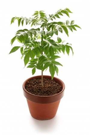 Curry Leaf Plant - AVAILABLE FOR PREORDER. - Product Image