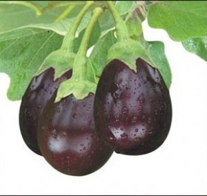 Eggplant-Ratna - TEMPORARILY OUT OF STOCK! - Product Image