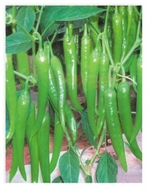 Hot Pepper-Mohini OUT OF STOCK! - Product Image