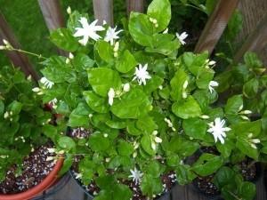 Jasmine Sambac Belle Of India Seeds Of India Shop